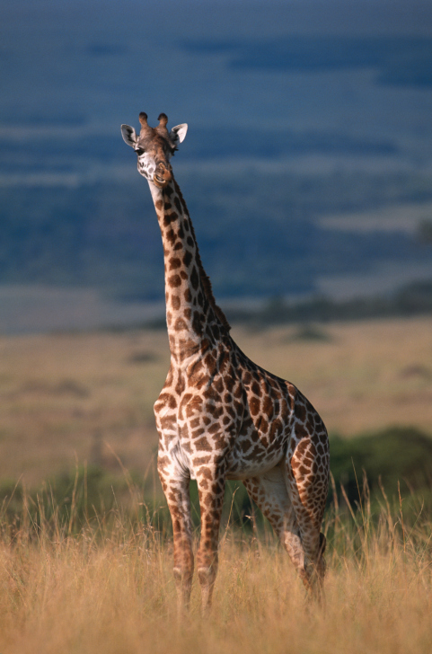 Giraffe (Giraffe camelopardalis tippleskirchi) standing and watching, Masai Mara N.R, Kenya