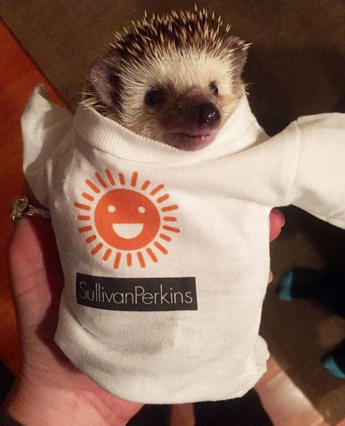 SullivanPerkins Taco Bella Hedgehog